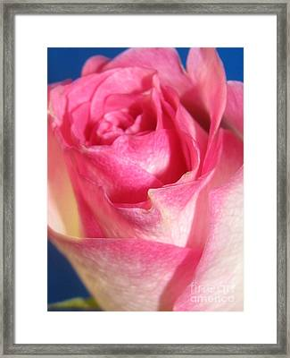 Framed Print featuring the photograph Single Pink Rose 2 by Margaret Newcomb