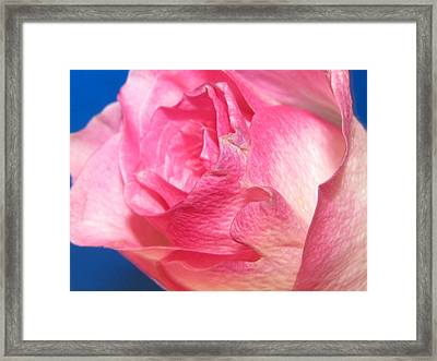 Framed Print featuring the photograph Single Pink Rose 3 by Margaret Newcomb