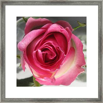 Framed Print featuring the photograph Single Pink Rose by Margaret Newcomb