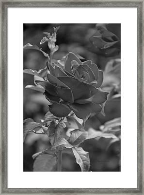 Single Red Rose Bw Framed Print