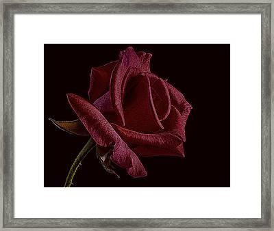 Single Red Rose Of Love Framed Print