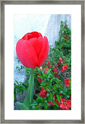 Single Red Tulip Framed Print by Barbara McDevitt