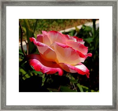 Single Rose Framed Print by Pamela Walton