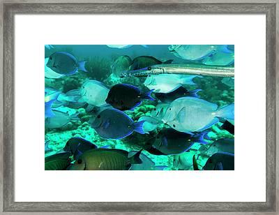 Single Trumpetfish Swimming Among Framed Print by James White