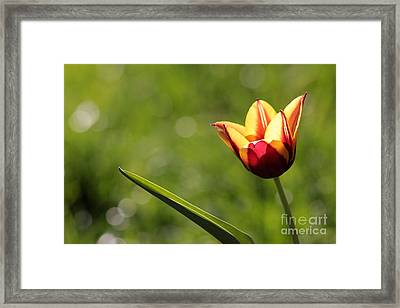 Single Tulip Framed Print by Kenny Glotfelty
