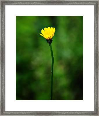 Single Yellow Flower Framed Print by Stephanie Grooms