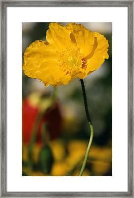 Single Yellow Poppy Framed Print by Robert Lozen