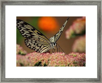 Sip Of The Nectar Framed Print by Randy Hall