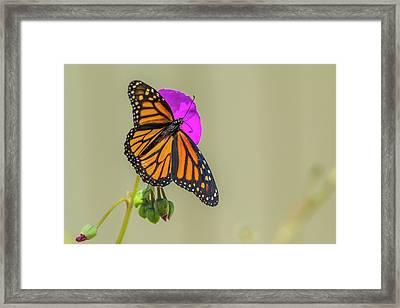 Sipping Monarch Butterfly On A Purple Framed Print