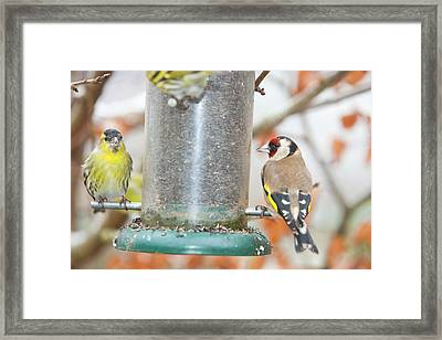 Siskins And Goldfinch On Feeder Framed Print by Ashley Cooper