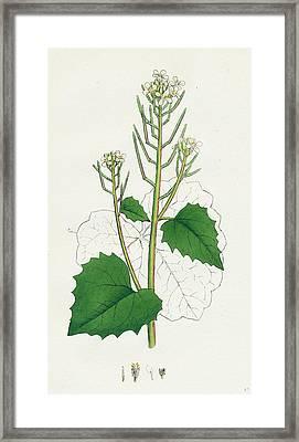 Sisymbrium Alliaria Garlic Hedge-mustard Framed Print