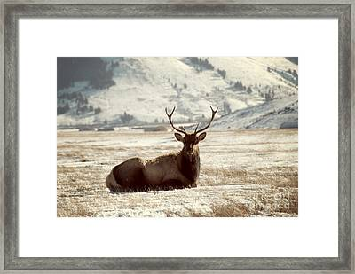 Sitting Bull Elk Framed Print by Juli Scalzi