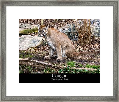 sitting Cougar Framed Print by Chris Flees