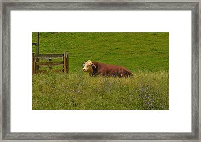 Sitting Cow Framed Print