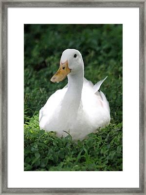 Sitting Duck Framed Print by Pamela Walton