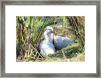 Sitting Ducks Framed Print by Carol Groenen