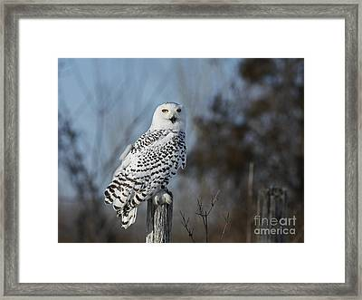Sitting On The Fence- Snowy Owl Perched Framed Print by Inspired Nature Photography Fine Art Photography