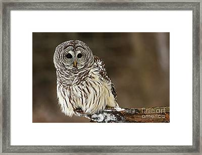 Sitting Pretty Barred Owl Framed Print by Inspired Nature Photography Fine Art Photography