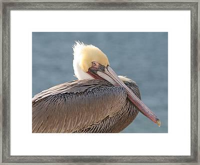 Sitting Pretty Pelican Framed Print by Bob and Jan Shriner