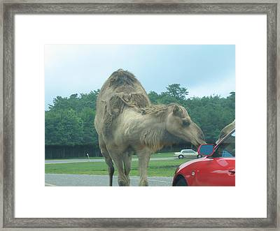 Six Flags Great Adventure - Animal Park - 121226 Framed Print by DC Photographer