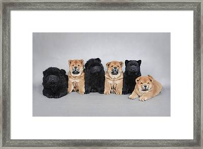 Six Little Chow Chow  Puppies Portrait Framed Print by Waldek Dabrowski