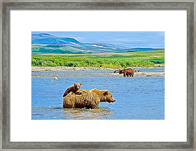 Six-month-old Cub Riding On Mom's Back To Cross Moraine River In Katmai National Preserve-alaska Framed Print