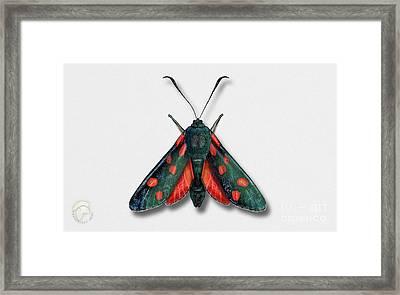 Six Spot Burnet Butterfly - Zygaena Filipendulae Naturalistic Painting - Nettersheim Eifel Framed Print