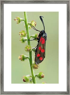 Six Spot Burnet Moth Framed Print