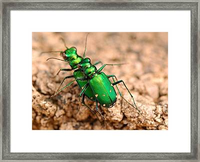 Six-spotted Tiger Beetle Mating Framed Print by Janet Hawkins