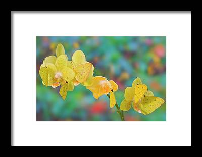 Sulfur Butterfly Framed Prints