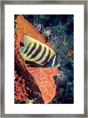 Sixbar Angelfish On A Reef Framed Print by Georgette Douwma