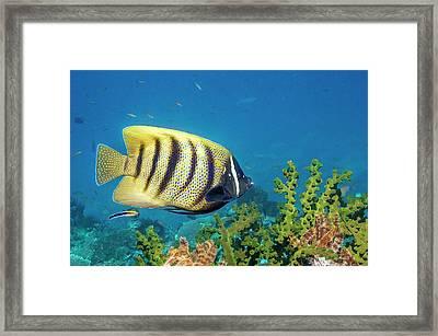 Sixbar Angelfish Over Sun Coral Framed Print