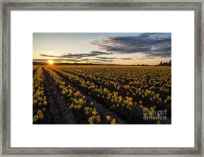 Skagit Daffodils Sunset Sunstar Framed Print by Mike Reid