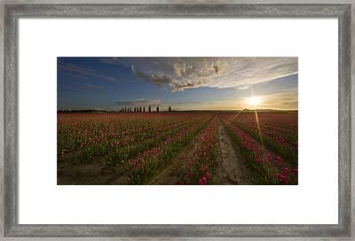 Skagit Tulip Fields Sunset Framed Print by Mike Reid