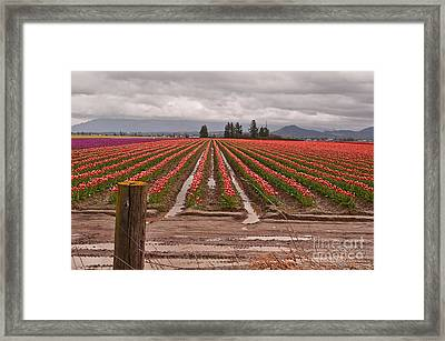 Skagit Valley Tulip Farmlands In Spring Storm Art Prints Framed Print by Valerie Garner