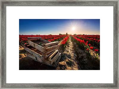 Skagit Valley Tulip Festival Framed Print by Alexis Birkill