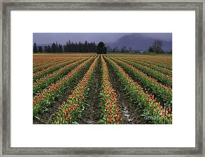Skagit Valley Tulip Field Framed Print