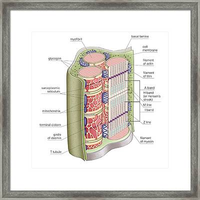 Skeletal Muscle Contractile Appearance Framed Print