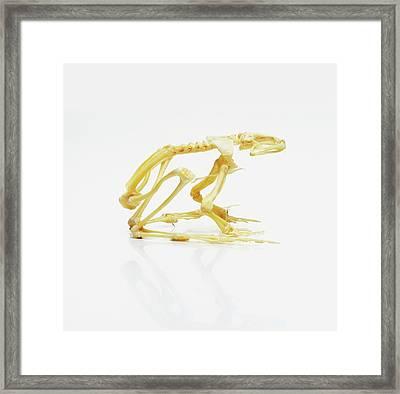 Skeleton Of African Bullfrog Framed Print by Dorling Kindersley/uig