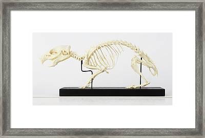Skeleton Of Guinea Pig Framed Print by Dorling Kindersley/uig