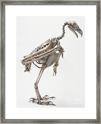 Skeleton Of Wedge-tailed Eagle Framed Print by Alex Wilson / Dorling Kindersley / Booth Museum of Natural History, Brighton