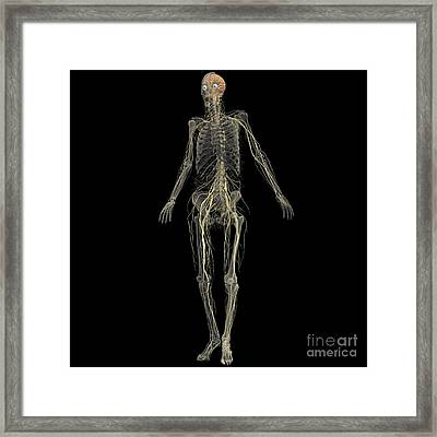 Skeleton With Nervous System Framed Print