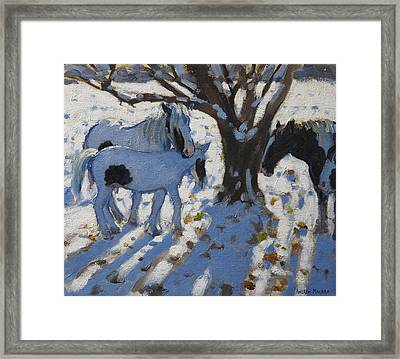 Skewbald Ponies In Winter Framed Print by Andrew Macara