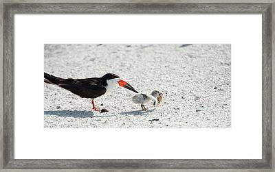 Skimmer Chick Carrying Fish Framed Print by Sheila Haddad