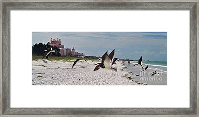 Black Skimmers At Don Cesar Framed Print