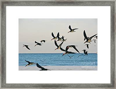 Skimmers Flying Framed Print