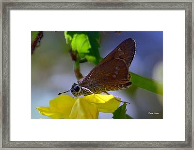 Skipper Butterfly Framed Print by Debra Martz
