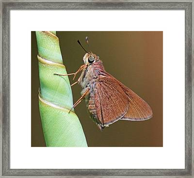 Skipper Butterful Framed Print by Dart and Suze Humeston