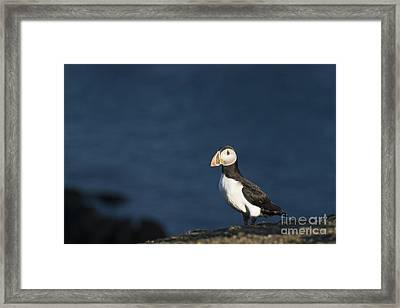 Skokholm Puffin Framed Print by Anne Gilbert