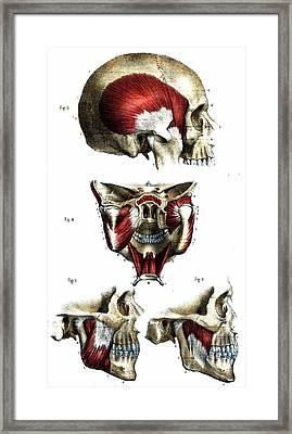 Skull Anatomy Framed Print